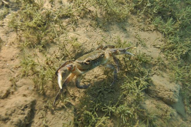 Нова доза подводна убавина со Љупчо Стојкоски Лепи – Охридска слатководна краба (Видео)