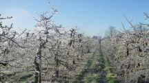 22 04 2017 22 33   Пролетниот мраз направи големи штети на овоштарниците во охридско и Дебрца